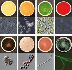 Fig. 1: Eight of the 137 microorganism samples used to measure biosignatures for the catalog. In each panel, the top is a regular photograph of the sample and the bottom is a micrograph, a 400x zoomed-in version of the top image. The scientists were aiming to achieve diversity in color and pigmentation.<br /><br />Top left to bottom right: Unknown species of genus bacillus (Sonoran desert, AZ, USA); unkown species of genus Arthrobacter (Atacama desert, Chile); Chlorella protothecoides (sap of a wounded white poplar); unknown species of genus Ectothiorhodospira (Big Soda Lake, NV, USA); unknown species of genus Anabaena (with green fluorescent protein; stagnant freshwater); unknown species of genus Phormidium (Kamori Channel, Palau); Porphyridium purpureum (old woodwork at salt spring, Boone's Lick State Park, MO, USA);  Dermocarpa violacea (aquarium outflow, La Jolla, CA, USA).